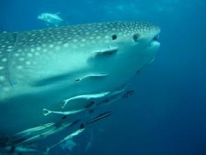 Whale Shark - Eye to Eye