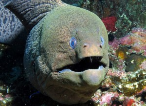 Giant Moray at Coral Garden while Diving Phi Phi Island