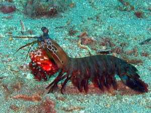 Peacock Mantis Shrimp - Anemone Reef