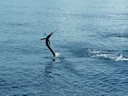 Sailfish -  Jumping