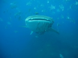 Whaleshark - Dive Phuket Today