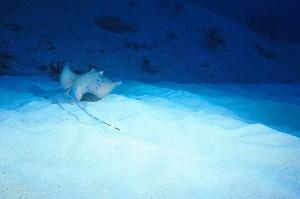 Blue Spotted Stingray at Anita's Reef, Similan Islands