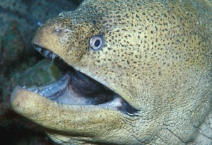 Moray Eel at Deep Six Similan Islands, Thailand